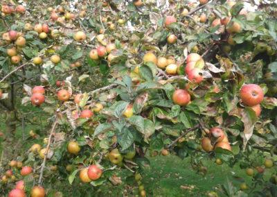 pommiers-avec-fruit2-400x284